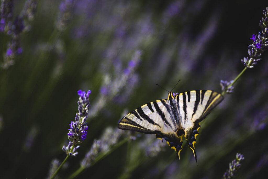 Imagen insecto mariposa Alex Basha
