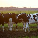 vacas Reino Unido carne