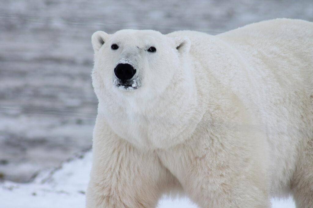 Oso polar sobre el hielo del ártico