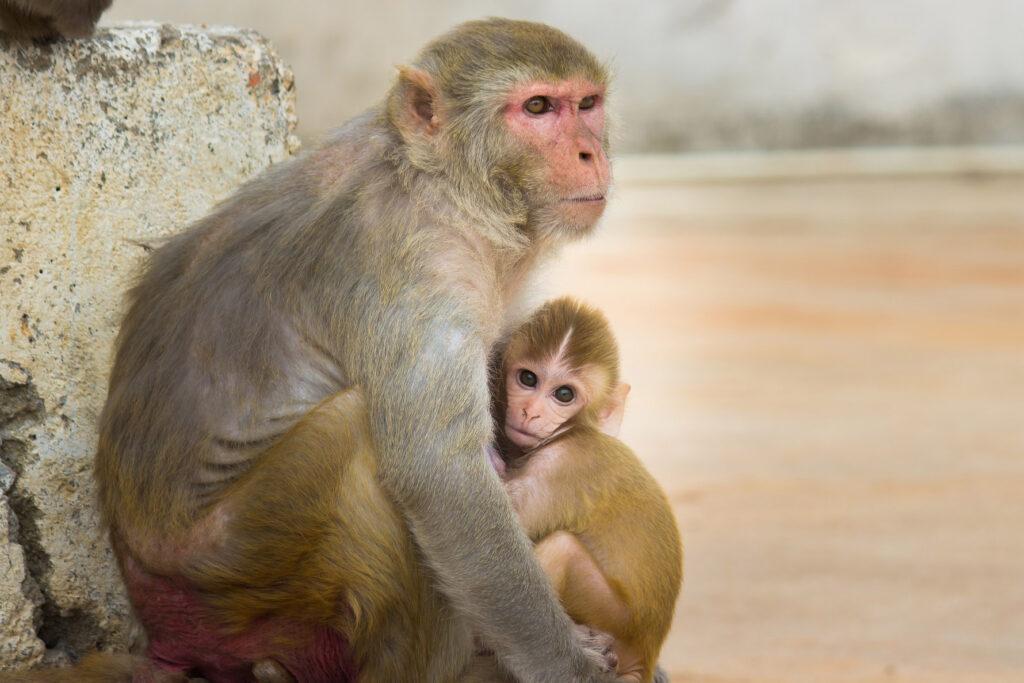 Macacos rhesus experimentación animal